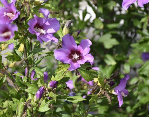 Kwitnący żywopłot z hibiskusa