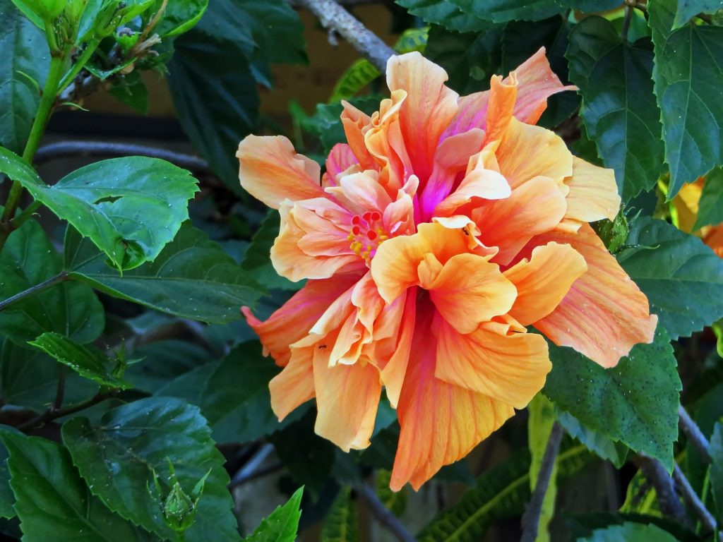 Kwitnący żywopłot z hibiskusa ketmia
