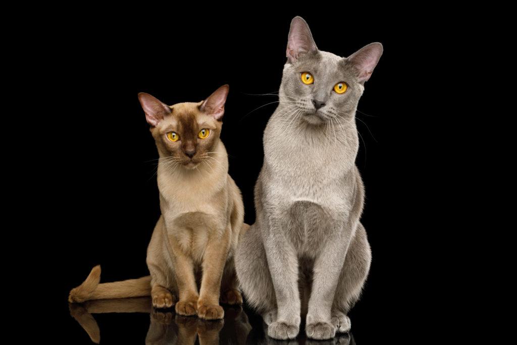 dwa koty birmańskie na czarnym tle
