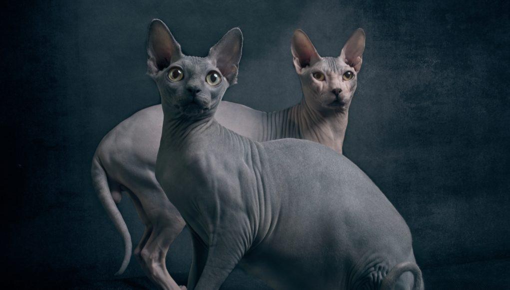 koty rasy sfinks
